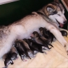 Elmo's mummy with all 12 of her pups_!!